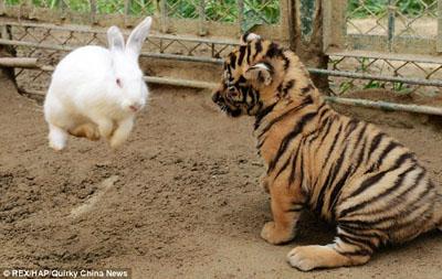 饲养员将小兔子与小老虎等食肉动物放在一起