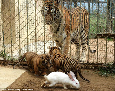 """青岛一野生动物园上演""""野性的呼唤"""",饲养员将小兔子与小"""