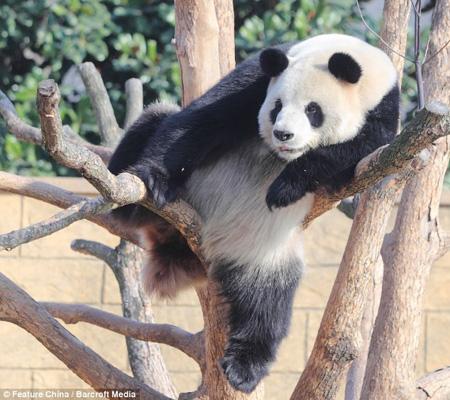 """...大熊猫丽丽喜欢在温暖的阳光下\""""挂\""""在树上睡上一觉销魂\""""功夫\""""..."""
